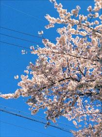 満開の桜、桜、桜