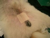 犬の去勢手術後