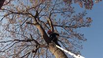 木に登って枝を打つ