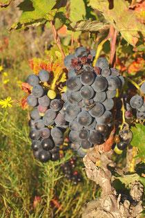 """Une vigne typique à """"la Loute"""""""