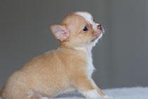 Мальчик чихуахуа,рожденный в нашем питомнике