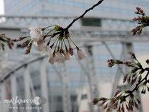 2014.03.27:東京都中央区・桜開花状況