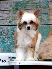 щенок китайской хохлатой - пуховая сука