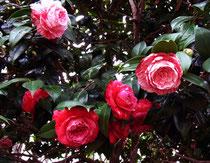 欧米人に好まれるバラのような花姿のツバキ。毎年、この花の咲く早春を心待ちにしてきました。そしてぼとぼとと花首を落とし、桜と交代していくのを見てきました。今年は梅も遅かったけどツバキも遅くて、まだ咲き残りがあります。カメリアは平田暁夫先生の裝花の基本にあり、愛でるのも創るのも好きな花ですが、生家の庭には無かった花です。