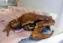 カエル合戦へ向かう途中で、凍てつく舗装道路で凍死寸前を助けられたカエル。まだ若く今年やっとカエル合戦に出て来たのではないか・・・と思われます。