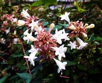 チョウたちが好む吸蜜源。スイカズラ科の植物。公園の生け垣などに多い。