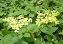 人間には目立たない花ですが、昆虫には人気があります。ただとても蔓延るので、バタフライガーデンに配置するときにはかなりの配慮が必要です。現状では、ウマノスズクサと同じあたりに勝手に生えてくるので、今のところはご退去いただいています。