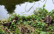 今年、撮影部隊はチョウたちの追認に明け暮れてきました。私は執筆に追われ写真を見るばかりでしたが、カルガモの子育ての画像が多く、昔よりも増えているのか・・・ または、河川敷などより安全な公園の水辺を憶えたのか・・・