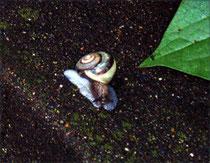 近所のミスジ 幼貝