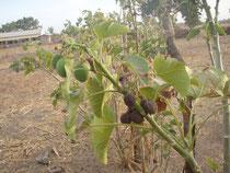 jatropha früchte