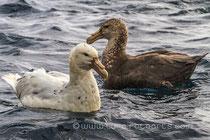Weißer und Brauner Riesensturmvogel