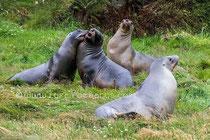 Junge Seelöwenmännchen