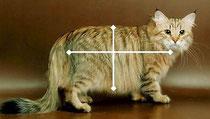 In figura sono evidenziate le proporzioni del corpo del siberiano
