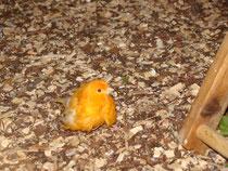 Kranker Kanarienvogel