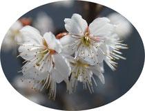 名前を知らない桜
