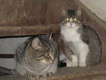 Lasse und Bosse - zwei Katzenbrüder