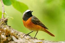 Vogel des Jahres 2011: Der Gartenrotschwanz. Foto: Blickwinkel/McPhoto