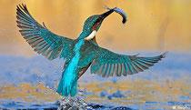 Vogel des Jahres 2009: Der Eisvogel. Foto: NABU/Delpho.