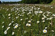 Wiesen-Margeriten bestimmen derzeit den Blühaspekt.