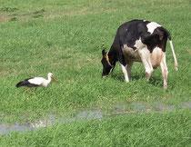 Das nasskalte Frühjahr führte zu weniger ausgeflogenen Jungvögeln bei den Weißstörchen in der Umgebung von Neumünster
