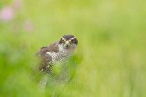 Der Habicht wurde zum Vogel des Jahres 2015 gewählt. Foto: NABU/R.Roessner