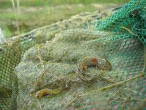 Erfolgreicher Fang am Fledermauswald: Links eine Larve des Teichmolches, rechts eine Larve des Kammmolches. (Zum Vergrößern bitte auf das Bild klicken).