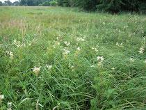 Von der Neuanlage von Wegen bedroht sind auch gesetzlich geschützte Biotope wie diese Nasswiese mit Großseggen- und Hochstaudenbeständen.