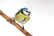 Häufiger Wintergast am Futterhäuschen: Die Blaumeise. Foto: F. Derer/NABU