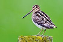 """Mit der Bekassine wird eine früher typische Vogelart der Moore und Feuchtwiesem zum """"Vogel des Jahres 2013"""". Foto: NABU/W.Rolfes"""