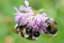 Blüten heimischer Wildpflanzen sind eine unverzichtbare Nahrungsquelle z. B. für Hummeln.