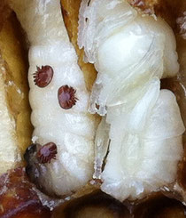Milben auf Bienenlarven