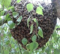 Bienenschwarm bei kälterer Witterung