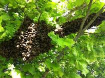 Bienentraube bei warmer Witterung