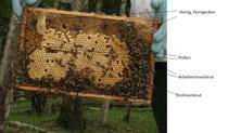 Honigkranz über Drohnenbrutfeld