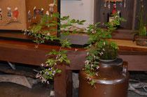 店内に飾った萩の苔玉