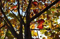 ユリの木も色づく