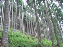 間伐後、下層植生が繁茂し始めた林分