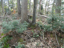 高野槇の複層林