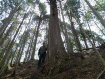 御神木の高野槇