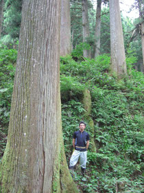 250年生の杉