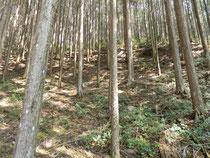 50年生の桧人工林