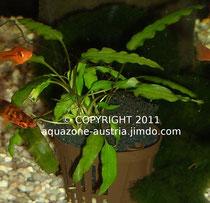 Eine Wasserkelch-Jungpflanze