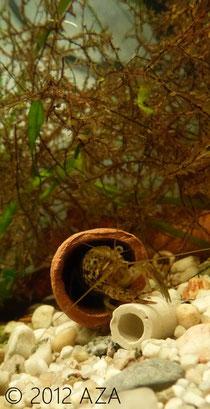 Marmorkrebs procambarus sp aquazone austria aquaristik for Einheimische fische gartenteich