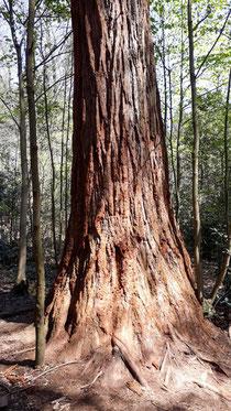 Mammutbaumstamm im Stadtwald (Foto: Drös)