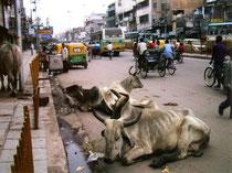 インドでは、視界に必ず牛が1匹はいる。