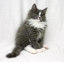 Beste Als het kitten verhuist - Amors Acker Noorse Boskatten Cattery IW-96