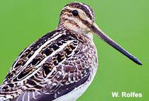 Die Bekassine - Vogel des Jahres 2013