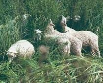 Eine Herde von 20 Moorschnucken hat sich bewährt. © J. Ludewig