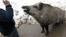 Ein echter Star - Schwein gehabt!