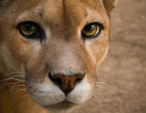 La giovane Puma